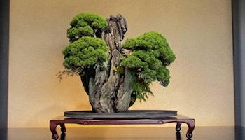 Bonzai Tree bonsai tree care and maintenance - bonsai empire