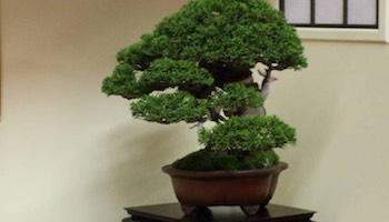 Bonsai Tree Patch Bonsai Tree
