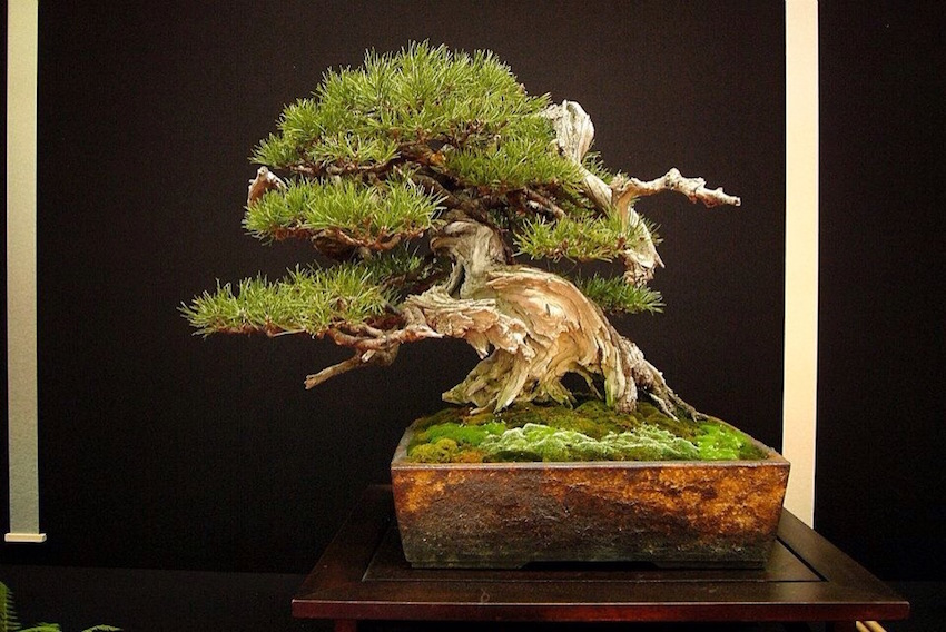 Mugo bonsai