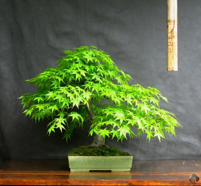 Anibal Poublan Acer bonsai