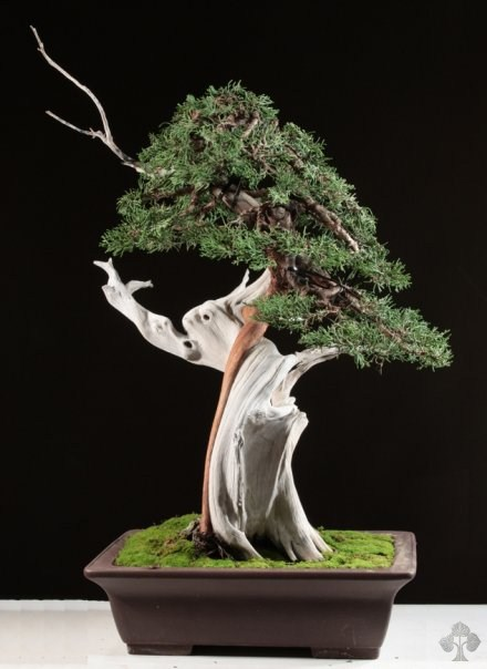 Juniperus Phoenicea bonsai