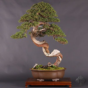 Shimpaku Juniper by Boon