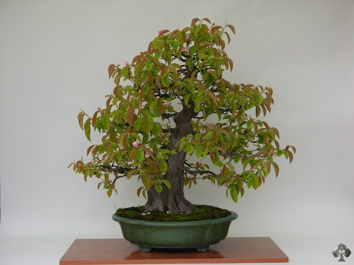 Carlos-Lazaro-Diez bonsai tree