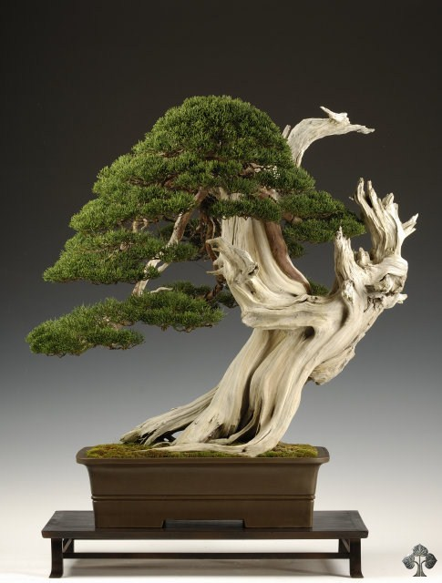 Juniperus bonsai by Carlos van der Vaart