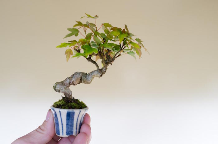 Potentilla Fruticosa bonsai