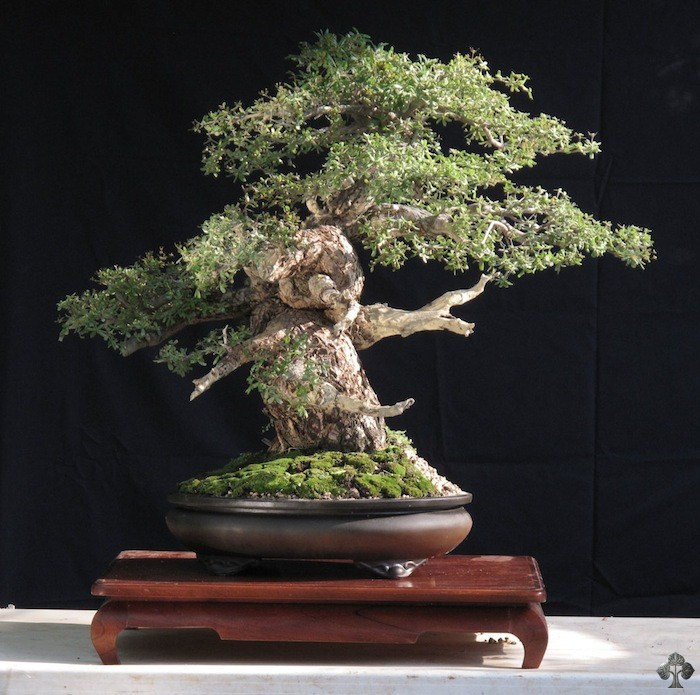 Enrique Castano bonsai