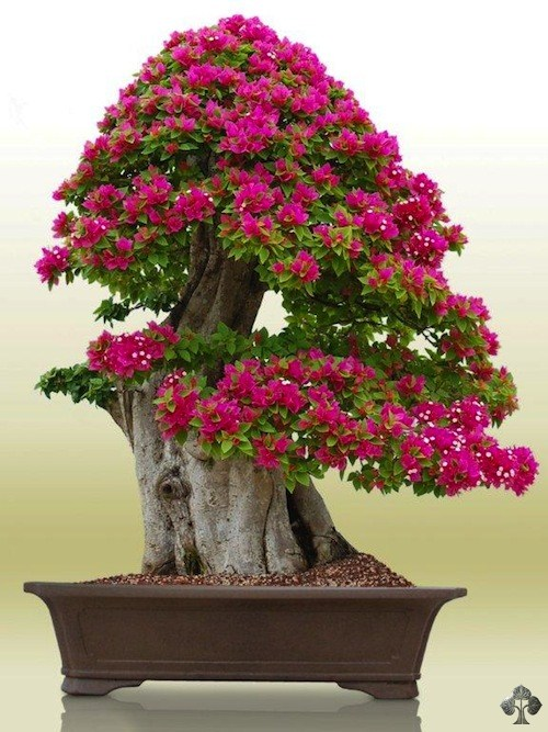 Erik Wigert Bonsai Empire