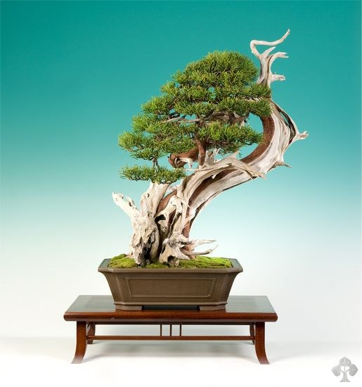 Juniper bonsai by graham potter