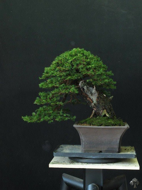 Picea bonsai by Ivo Saporiti