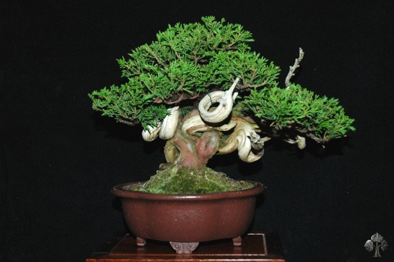 John Romano Juniper bonsai