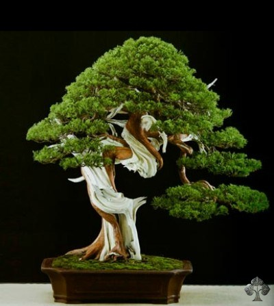 Juniper bonsai by Marco Invernizzi