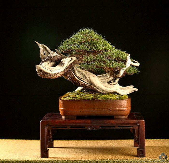 Pinus bonsai by Mauro Stemberger