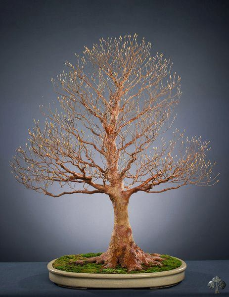 Stewartia bonsai tree