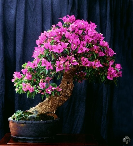 Bougainvillea bonsai by Michele Andolfo