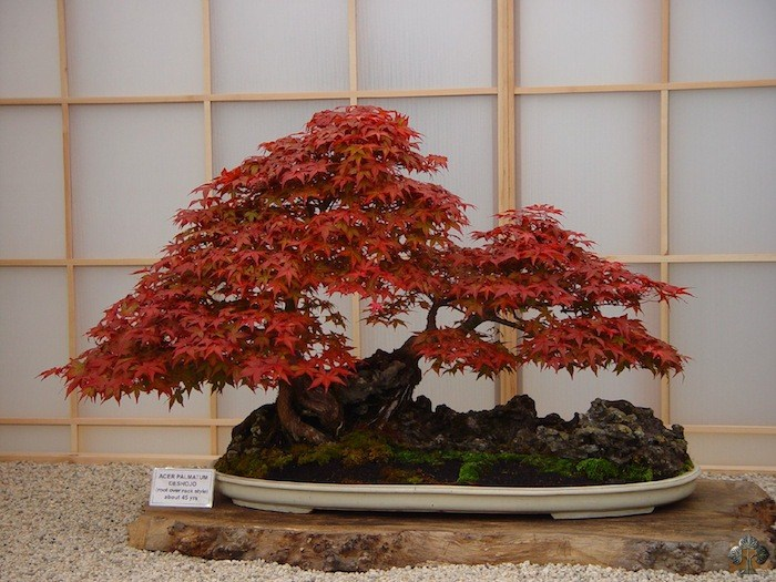 Acer Palmatum by Peter Chan