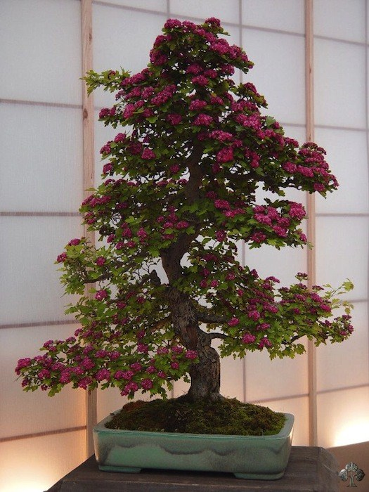 Peter Chan bonsai