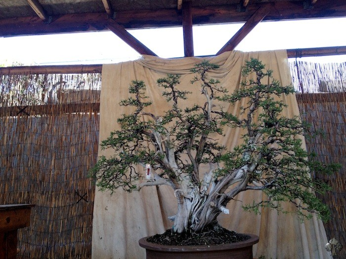 Bonsai by Robert Pressler