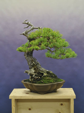 Ryan Neil's Japanese white pine