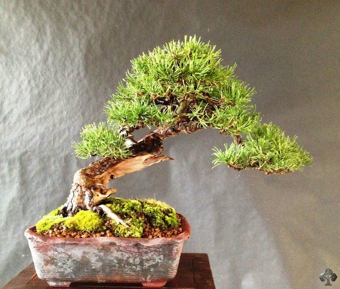 Salvatore Liporace bonsai