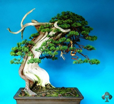 Shimpaku bonsai by Sandro Segneri
