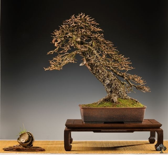 Larch bonsai by Vaclav Novak