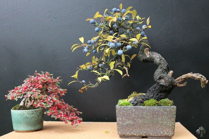 Cotoneaster bonsai, prunus spinosa