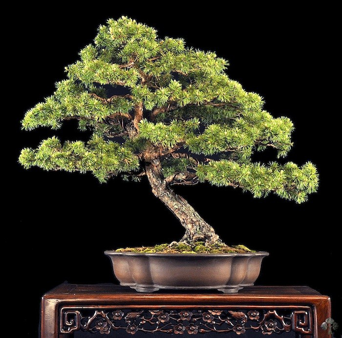 Dwarf Scots pine by William Valavanis