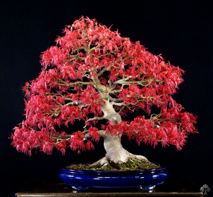 William Valavanis Maple bonsai