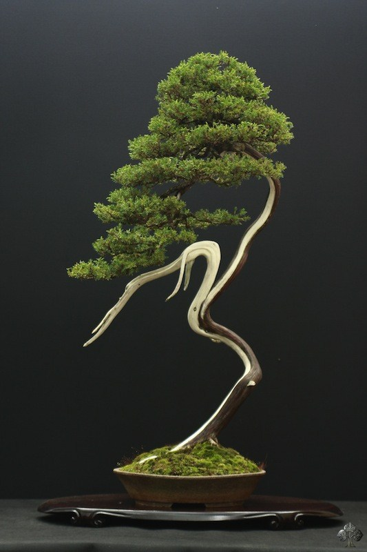 Bonsai tree Juniper
