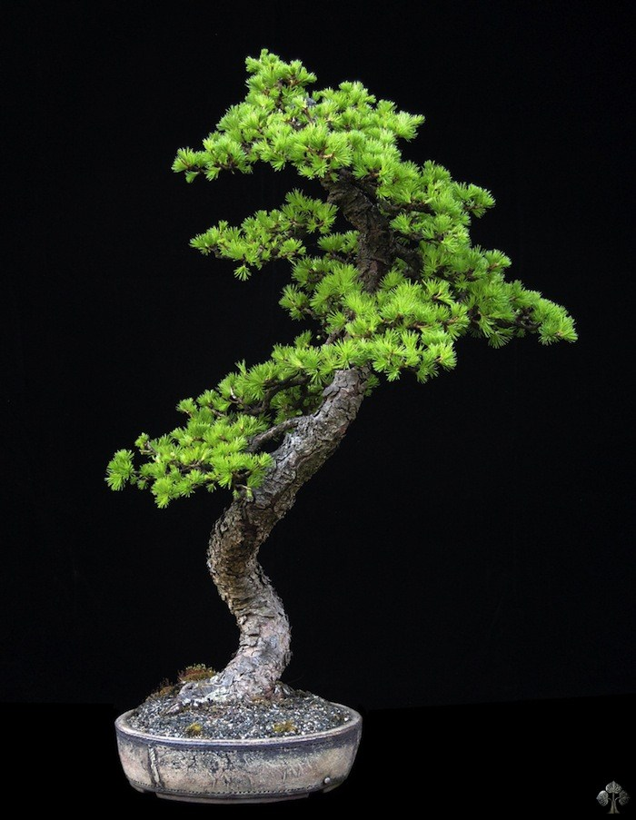 Larix decidua (Larch bonsai)