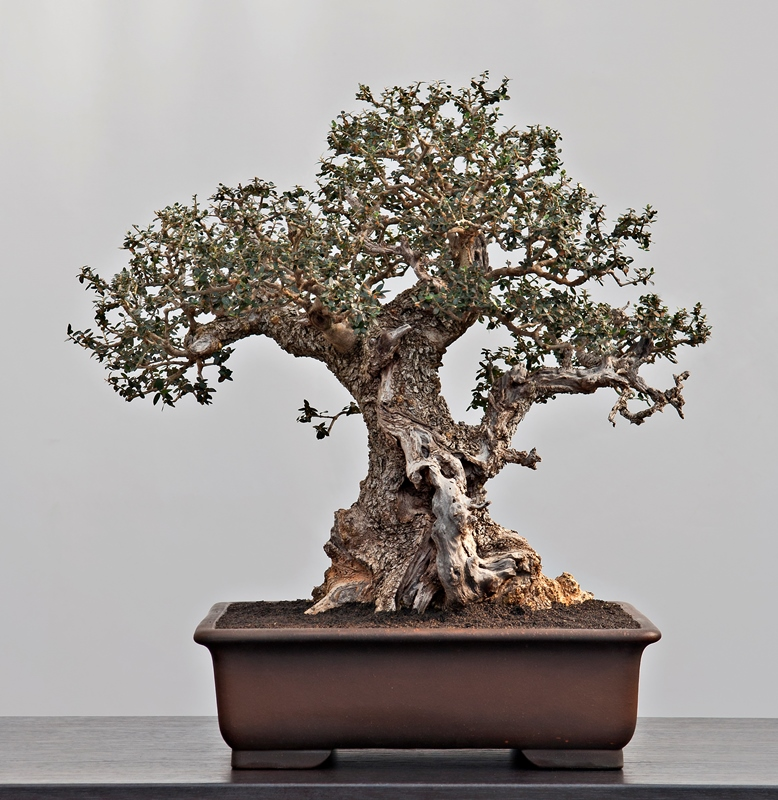 Olea Sylvestris bonsai