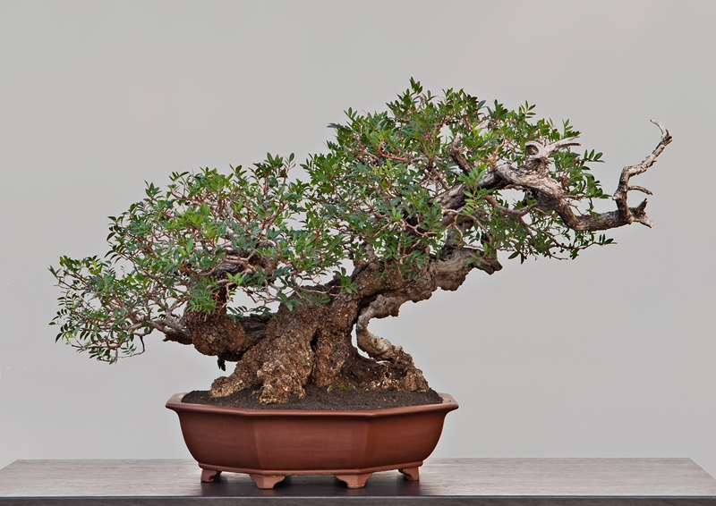 Prunus Cerasifera bonsai