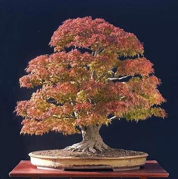 A bonsai in the four seasons bonsai empire for Unusual bonsai creations