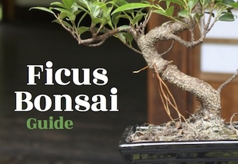 The Ficus Bonsai Guide