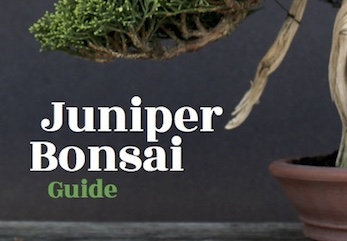 The Juniper Bonsai Guide