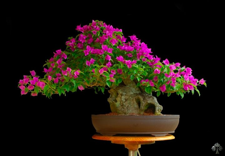 Bougainvillea glabra Bonsai