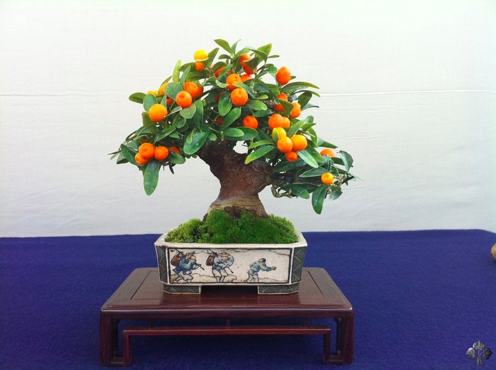 Tiny oranges on a Bonsai