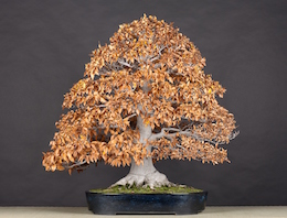 Fagus crenata (Blume.), Japan. Mansei-en, in the Luis Vallejo bonsai collection since 2010