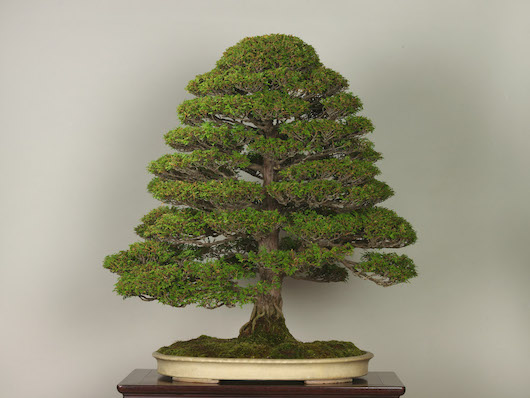 Tsuyamahinoki (Japanese Cypress), photo by the Omiya Bonsai Art Museum.