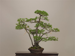 Goyo-matsu (Japanese Five Needle Pine), photo by the Omiya Bonsai Art Museum.