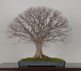 Bonsai tree gallery