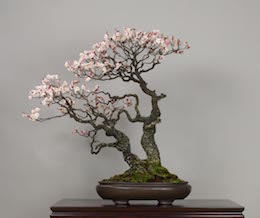 Omoi-no-mama (Japanese Apricot), photo by the Omiya Bonsai Art Museum.