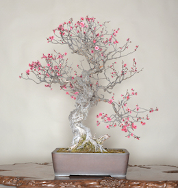 Hibai (Japanese Apricot), photo by the Omiya Bonsai Art Museum.