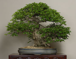 Iwashide (Korean Hornbeam), photo by the Omiya Bonsai Art Museum.