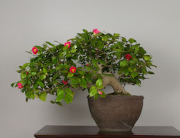 Yamatsubaki (Japanese Camellia), photo by the Omiya Bonsai Art Museum.