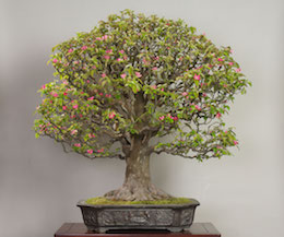 Karin (Chinese Quince), photo by the Omiya Bonsai Art Museum.