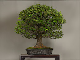 Karin (Chinese Quince), in June, photo by the Omiya Bonsai Art Museum.