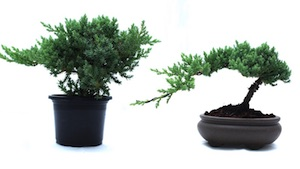 Before (left) and after styling of the Juniper plant.