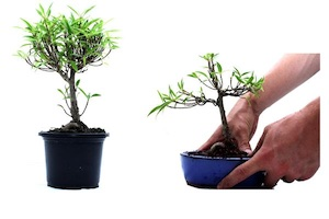 Before (left) and after styling the Ficus plant.