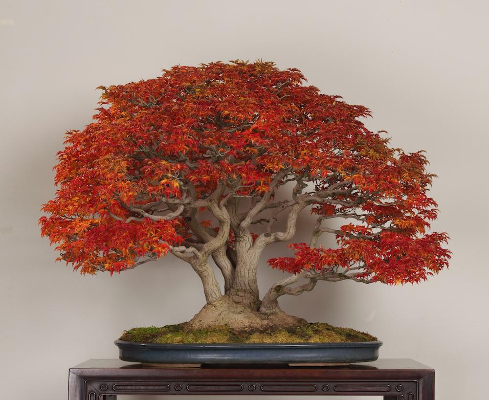 Bonsai Tree Gallery Bonsai Empire